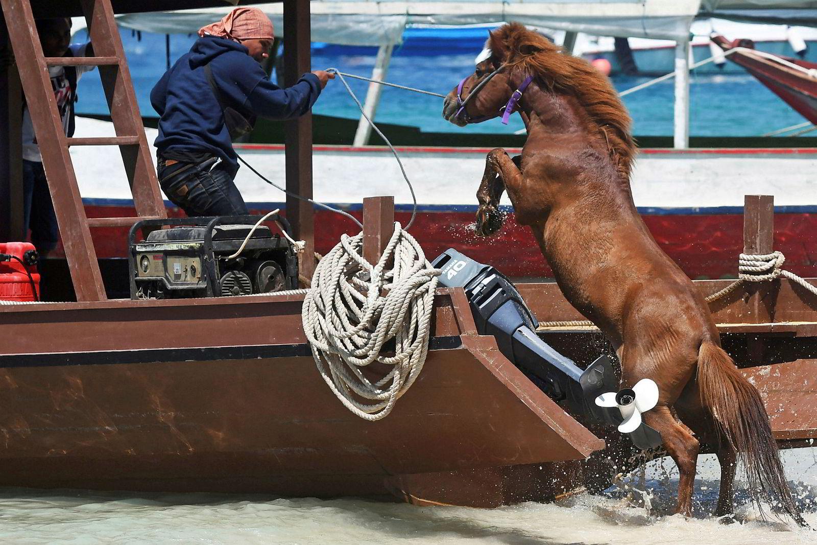 En mann hjelper en hest om bord båten sin for å transportere den til fastlandet etter søndagens jordskjelv på øya Gili Trawangan i Indonesia.