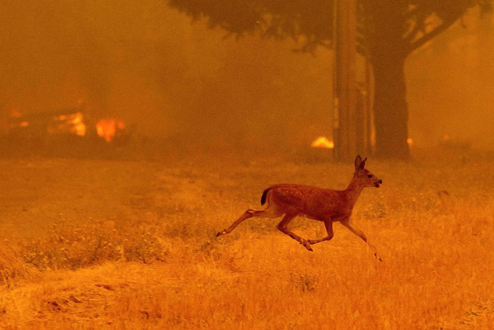 Er rådyr rømmer fra Ranch-brannen mens de nådeløse flammene truer bebyggelsen nedover New Long Valley Road nær Clearlake Oaks.