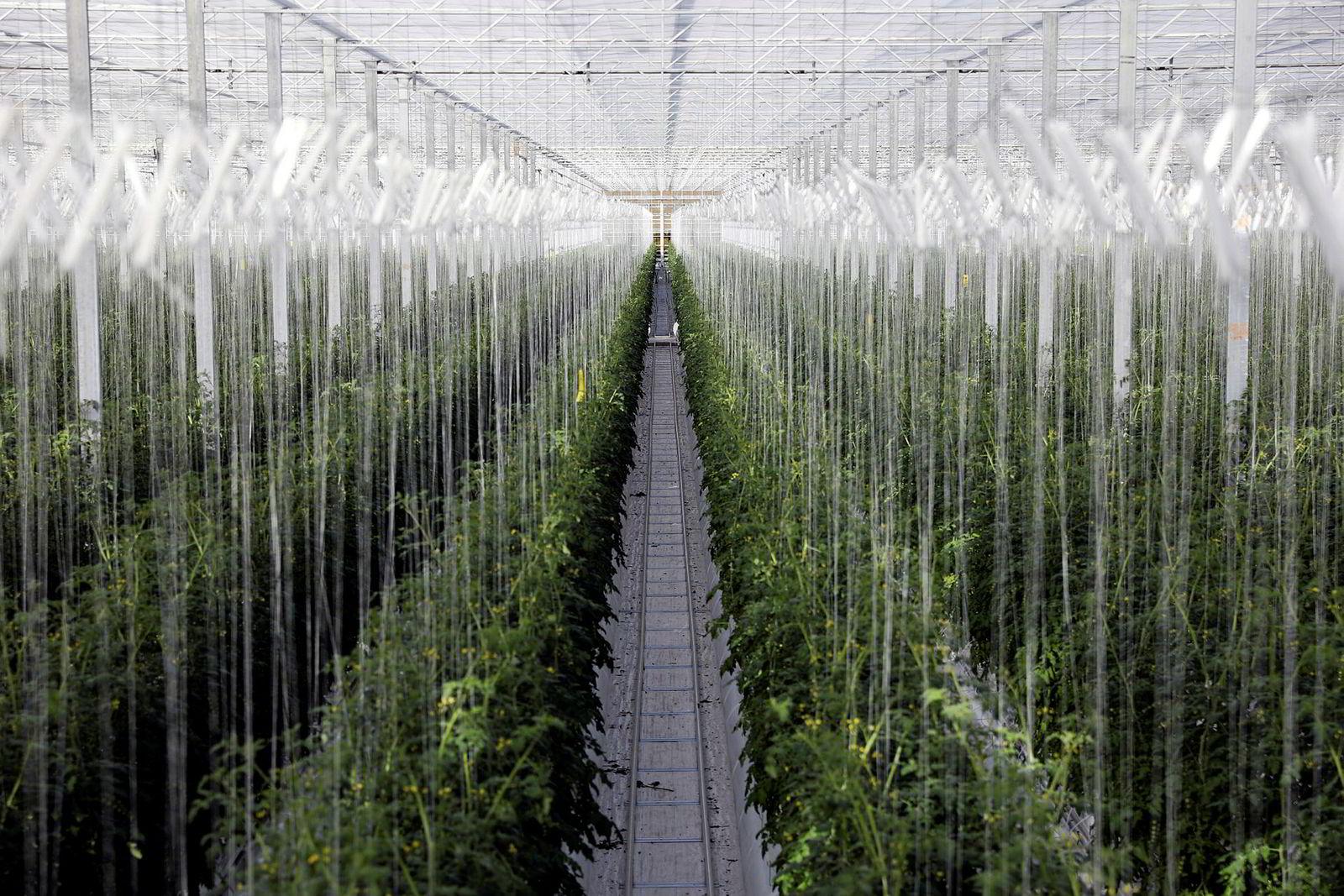 Matproduksjonen blir mer og mer industrialisert. I mars kom våren til England, men variasjoner i vær og årstider gjør nok ingen forskjell for disse tomatplantene i et drivhus hos Sterling Suffolk Ltd.