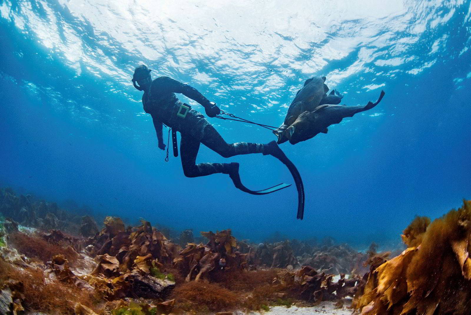 Undervannsjakt i Saltstraumen. Jan Roald Wullf Treni drar fangsten sin til båten. Torsk opp mot 35 kg er skutt med spyd i verdens sterkeste tidevannstrøm.