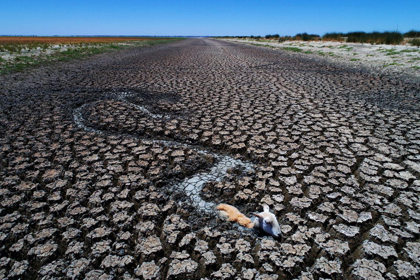 Australia ble rammet av en tørkeperiode ved inngangen til 2019. Avløpskanalen til innsjøen Cawndilla ble en dødsfelle for dyrene i området. Døde og døende kenguruer, geiter og sauer satt fast i den tørkende gjørmen.