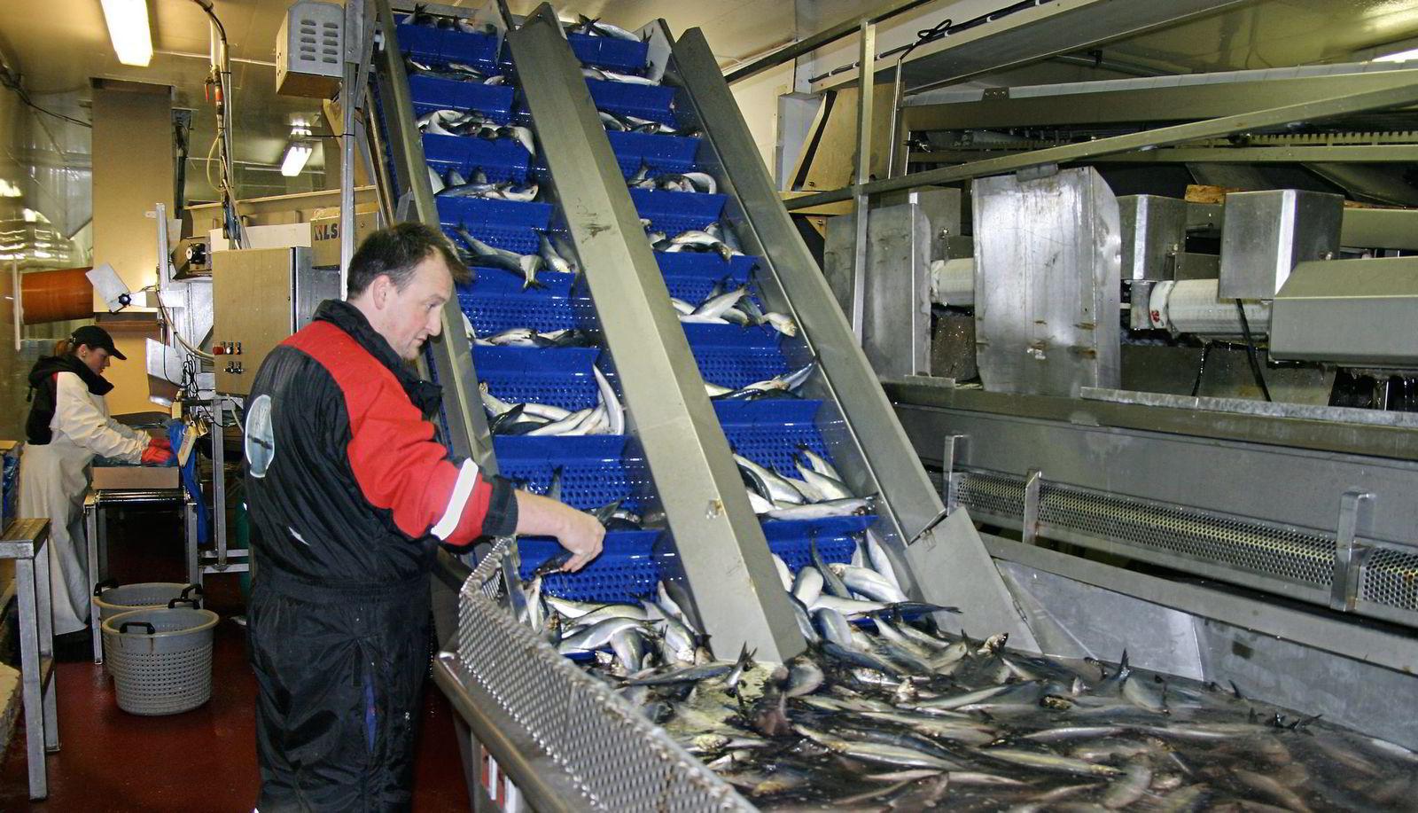 KVALITETSSJEKK. Produksjonssjef Lorentz Hardy sjekker sild. Nå er det full stans i produksjonen.
