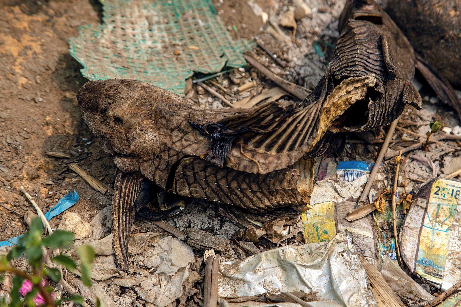 Død fisk er et vanlig syn langs Citarum-elvens forsøplede bredder.