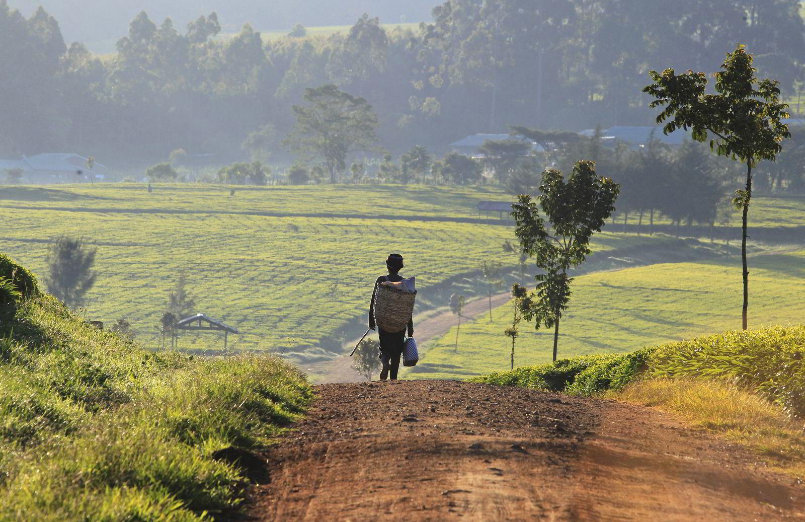 En mann på vei til arbeidet med å plukke teblader i Nandi Hills i Kenya. En hagelstorm ødela store deler av avlingene i landet, og sendte teprisen kraftig opp. Foto: