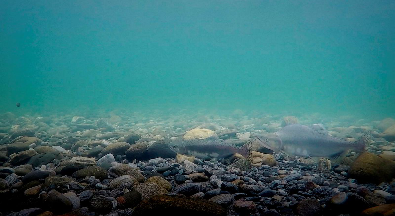 Leif Magnus Sættem har filmet pukkellaks som i disse dager gjør seg klar til å gyte i elva Driva i Møre og Romsdal.
