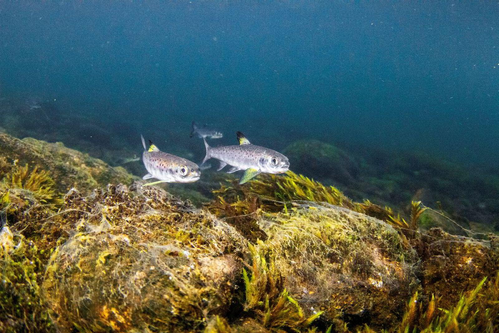 Smolt fotografert på vei ut av Evangervatnet, en av innsjøene i Vossovassdraget der forskningen viser at en stor andel av smolten dør – uten at man helt vet hvorfor.