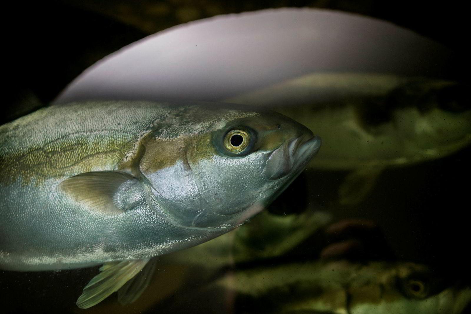 Sashimi Royal har solgt all produksjon av kingfish (bildet) allerede før den første fisken er slaktet.