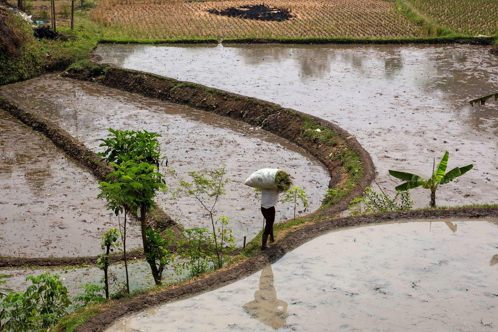 En bonde jobber på rismarkene langs en tungt forurenset sideelv til Citarum-elven. Bøndene i området er helt avhengige av vann fra Citarum-vassdraget.