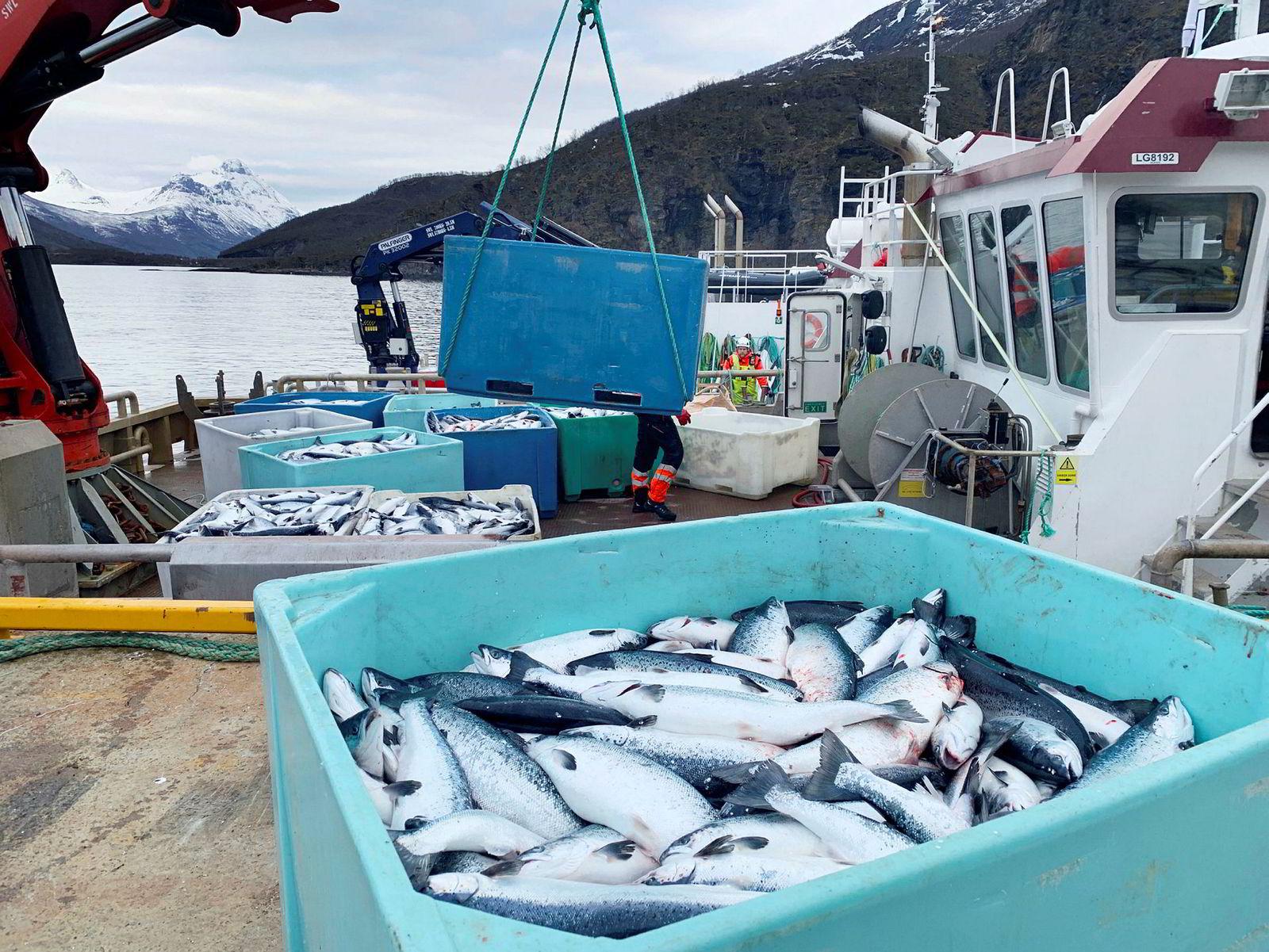 Flere tusen tonn laks er drept av giftige alger i Ofotfjorden og Astafjorden på grensen mellom Nordland og Troms.