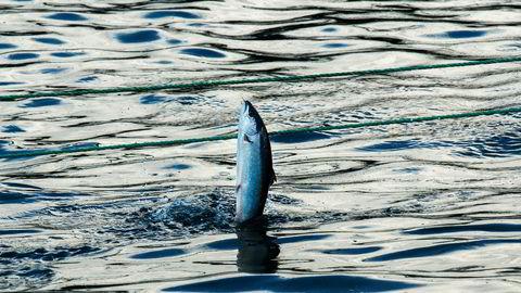 Norsk oppdrettsnæring bør utvikles og få vekstmuligheter samtidig som hensyn til fisken – tam som vill – ivaretas, skriver Gaute Lenvik i innlegget.