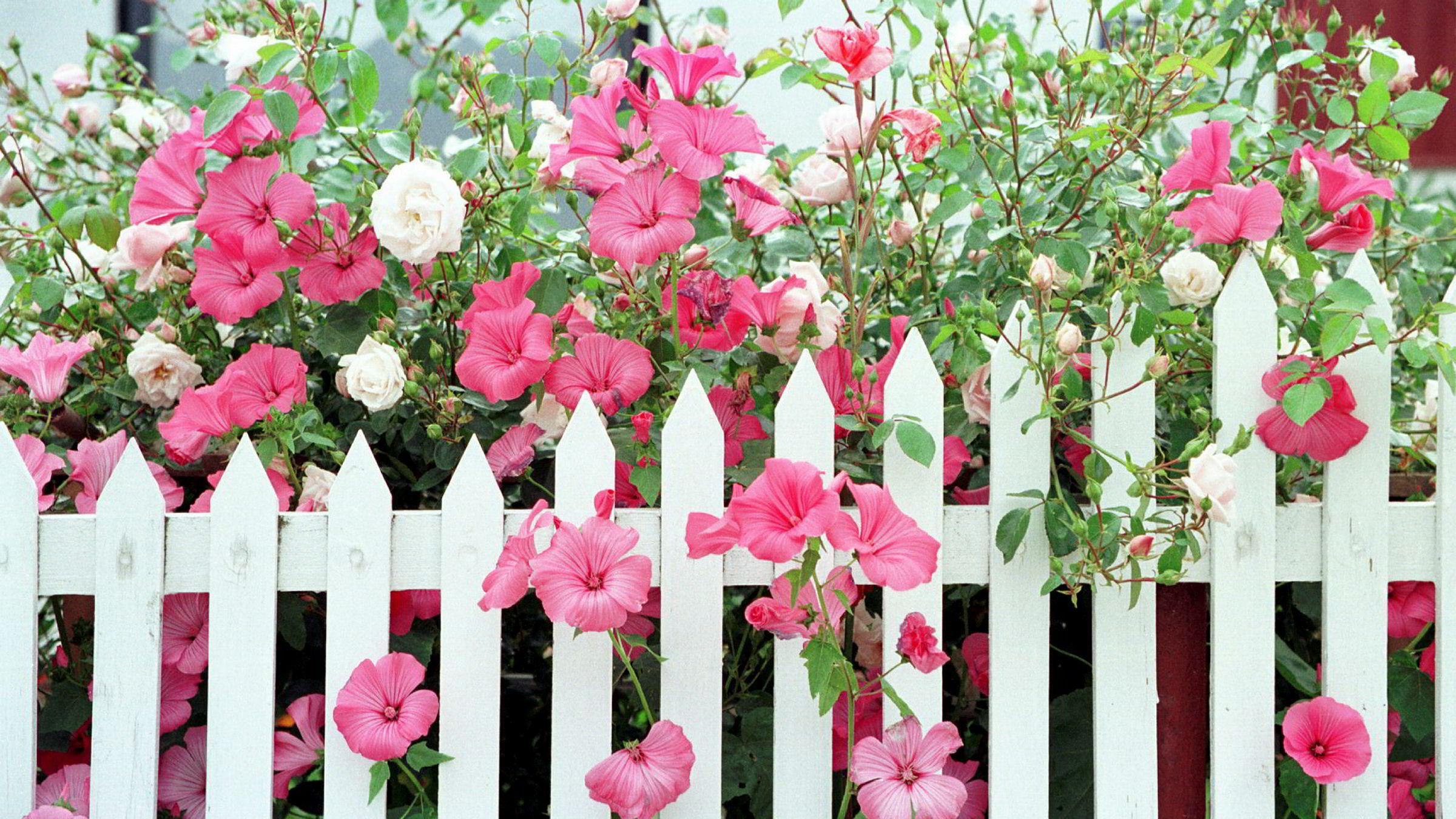 Mange blomster i norske hager bør helst holde seg innenfor gjerdet, da de utgjør en trussel mot norsk natur hvis de sprer seg.