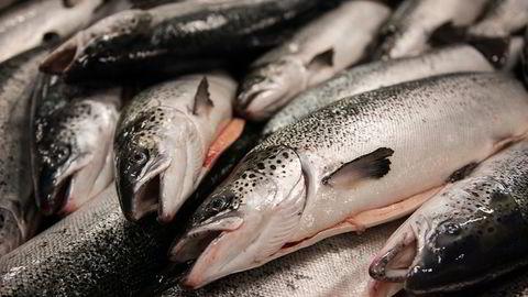 Eksporten av norsk laks har steget rundt 20 prosent fra samme periode i fjor. Her blir laks slaktet ved anlegget til Marine Harvest Eggesbønes.
