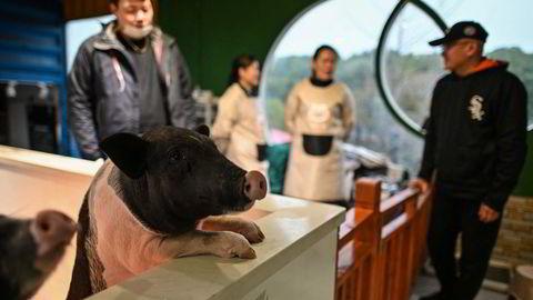 En mutasjon av afrikansk svinepest skaper bekymring i Kina. Ved dyrekafeer i Shanghai kan kunder komme tett inn på blant annet griser mens de tar en kaffe.