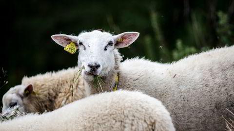 Sau og storfe er rett og slett lite produktive kjøttdyr som medfører høye klimagassutslipp, skriver artikkelforfatteren.
