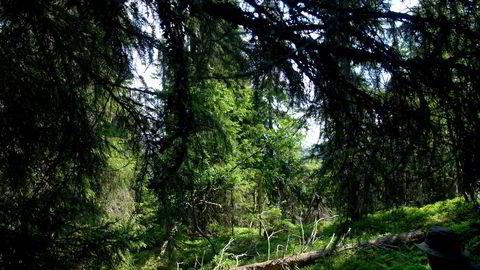 Dersom man ikke tar ut den årlige tilveksten i skogen, vinner en det dobbelte i karbonbinding av hva som oppnås ved å hugge og la trevirket erstatte stål og betong, skriver Olav Hjeljord.