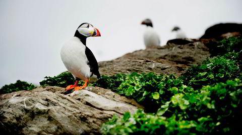 Sårbart ikon. Den fotogene lundefuglen er også kalt sjøpapegøye. Arten regnes som sårbar, og bestanden går nedover, ifølge den globale rødlisten.