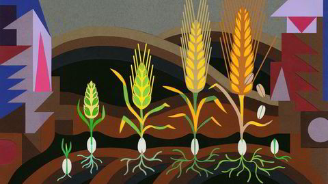 Hele vår sivilisasjon er tuftet på hvete