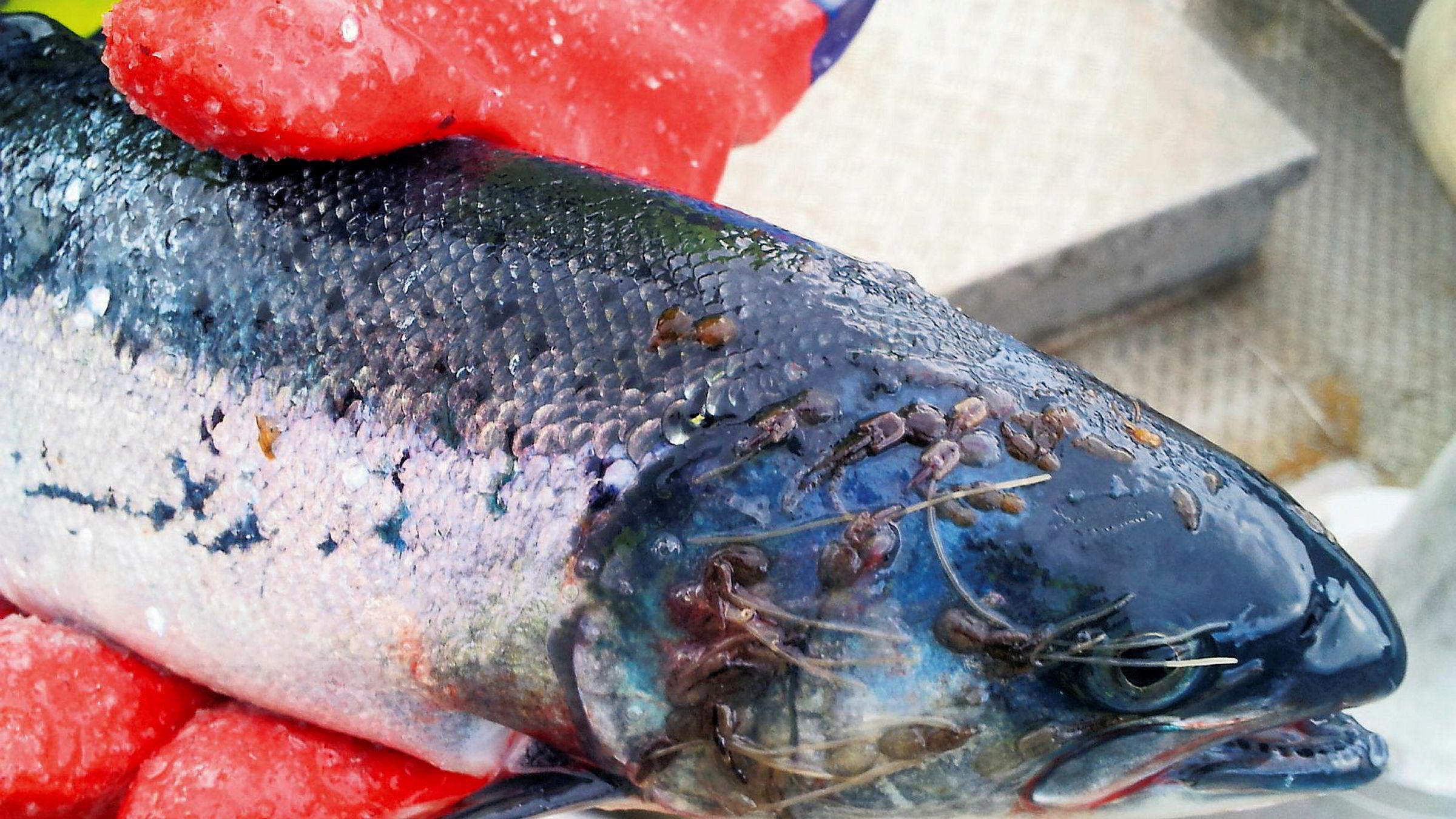 Store mengder lakselus (bildet), stadig nye alvorlige sykdommer og massedød preger den lukrative oppdrettsnæringen. Og nå roper også Økokrim varsko.