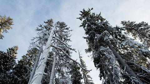 Hvis en skog ikke får stå urørt, men skjøttes og hugges, vil den ofte fange mer karbon, men ikke lagre mer, skriver artikkelforfatterne. Skogen her på bildet står i Våler i Hedmark.