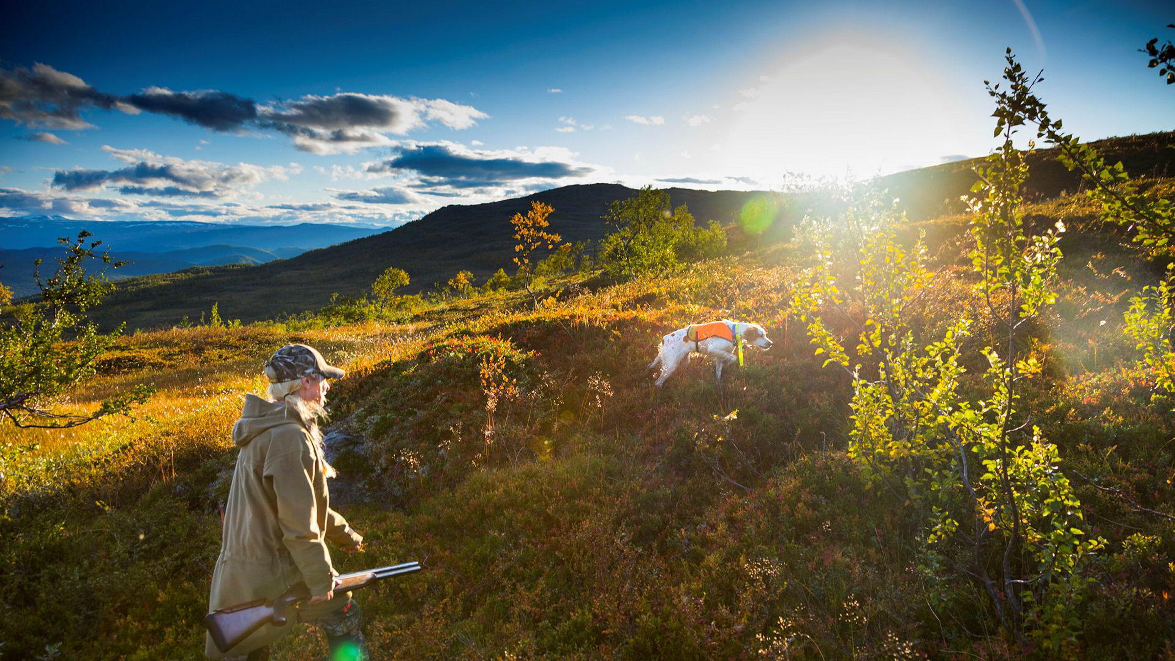 Lise Ailin Lorentzen (31) går opp til Bretonen Thea i høstgule Vassbotnfjell. Fuglehunden har stand, men løser så ut selv. Det er mindre rype i disse fjellene enn på lenge.