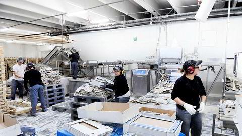 Fjordlaks har nær 60 ansatte her ved anlegget i Ålesund pluss over 100 ved to mottak i Troms og Finnmark.