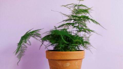 Kommunikativ. Slørasparges er en uttrykksfull plante som sier fra når den har det bra eller mistrives.