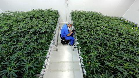 Cannabissektoren har slitt siden legaliseringen av rusmiddelet ble et faktum i Canada i 2018. I USA er stoffet fortsatt forbudt på føderalt nivå, men noen stater har legalisert bruk. Her fra en cannabisfarm i Baton Rouge i Louisiana.