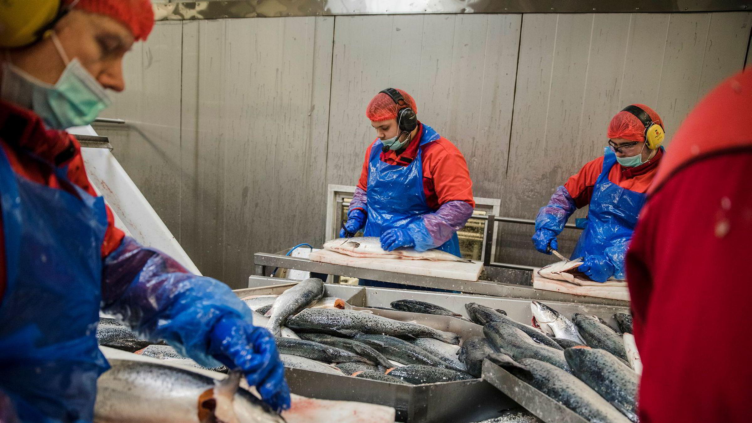 Laksen utgjorde over 70 prosent av eksportverdien av norsk sjømat i rekordåret 2017, men bare 17 prosent av laksen blir bearbeidet i Norge. Illustrasjonsbilde fra slakteriet til Lerøy Aurora på Skjervøy med Hugo Olsen (fra venstre), Thord Sørgård og Jostein Korneliussen (23).