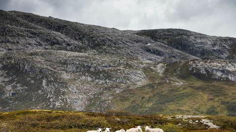 Sauen kan høste og omforme gress til kjøtt og ull langs værhard kyst, høyt til fjells og langt mot nord, skriver Eva Narten Høberg og Lise Grøva.