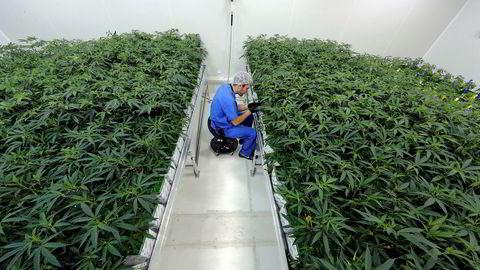 Cannabis-aksjer er for øyeblikket en sjeldenhet i Europa. Det tror en analytiker kan endre seg i 2020. (Foto: AP Photo/Gerald Herbert)