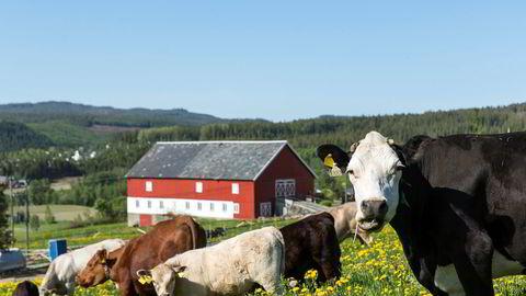 Hvis innenlands matproduksjon skal være et premiss og miljø et mål, må drøvtyggerne spise gress et sted der det ikke kan dyrkes korn og grønnsaker, skriver Olav Reksen i innlegget. Her er ammekyr på beite på Elvran i Stjørdal.