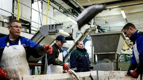 Tomas Zimborski (til venstre), Daniel Tscarnoz, daglig leder Roy Mienna, Adam Kadlowski og Daniel Florkiewiz sløyer fisk på fiskebruket Nergård Breivikbotn på Sørøya i Finnmark.