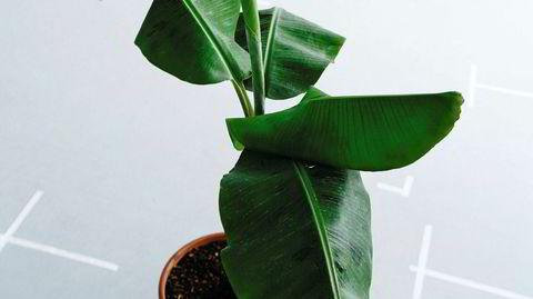 Tropisk. Bananplanten trives best i fuktig luft, og bladene kan gjerne sprayes med vann et par ganger i uken.