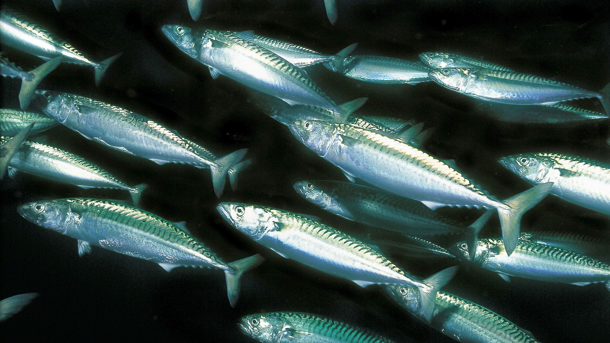 Den norske fiskeflåten overbeskatter vandrebestandene av pelagisk fisk i det nordøstlige Atlanterhavet: Sild, kolmule og makrell, hevder artikkelforfatteren.