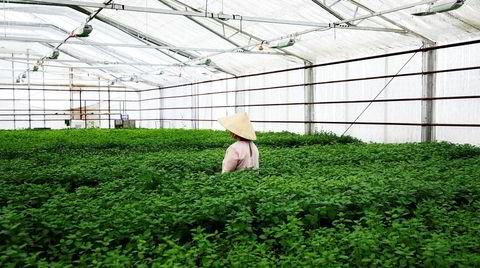 Grønt er skjønt. I det gamle blomstergartneriets drivhus dyrkes også mynte og brønnkarse, i tillegg til enkelte av Nghia Nguyens andre planteeksperimenter.