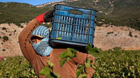 Innhøsting. Selv om de ikke drikker vin selv, er det syriske beduiner som høster inn druene hos Domaine des Tourelles i Bekaadalen, Libanons eldste vinprodusent.