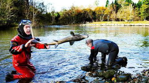 Rømt oppdrettslaks som svømmer opp i elvene og gyter innebærer økt risiko for at villaksen blir ytterligere genetisk påvirket i store deler av landet, slår Havforskningsinstituttet fast.