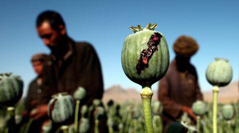 Afghanske menn høster opium, noe som gjøres ved å gjøre to-tre vertikale kutt i valmuen, som de neste dagene utsondrer en tyktflytende sevje, som er råopium som samles inn. Her fra Golistan i Farah-provinsen, vest i Afghanistan.