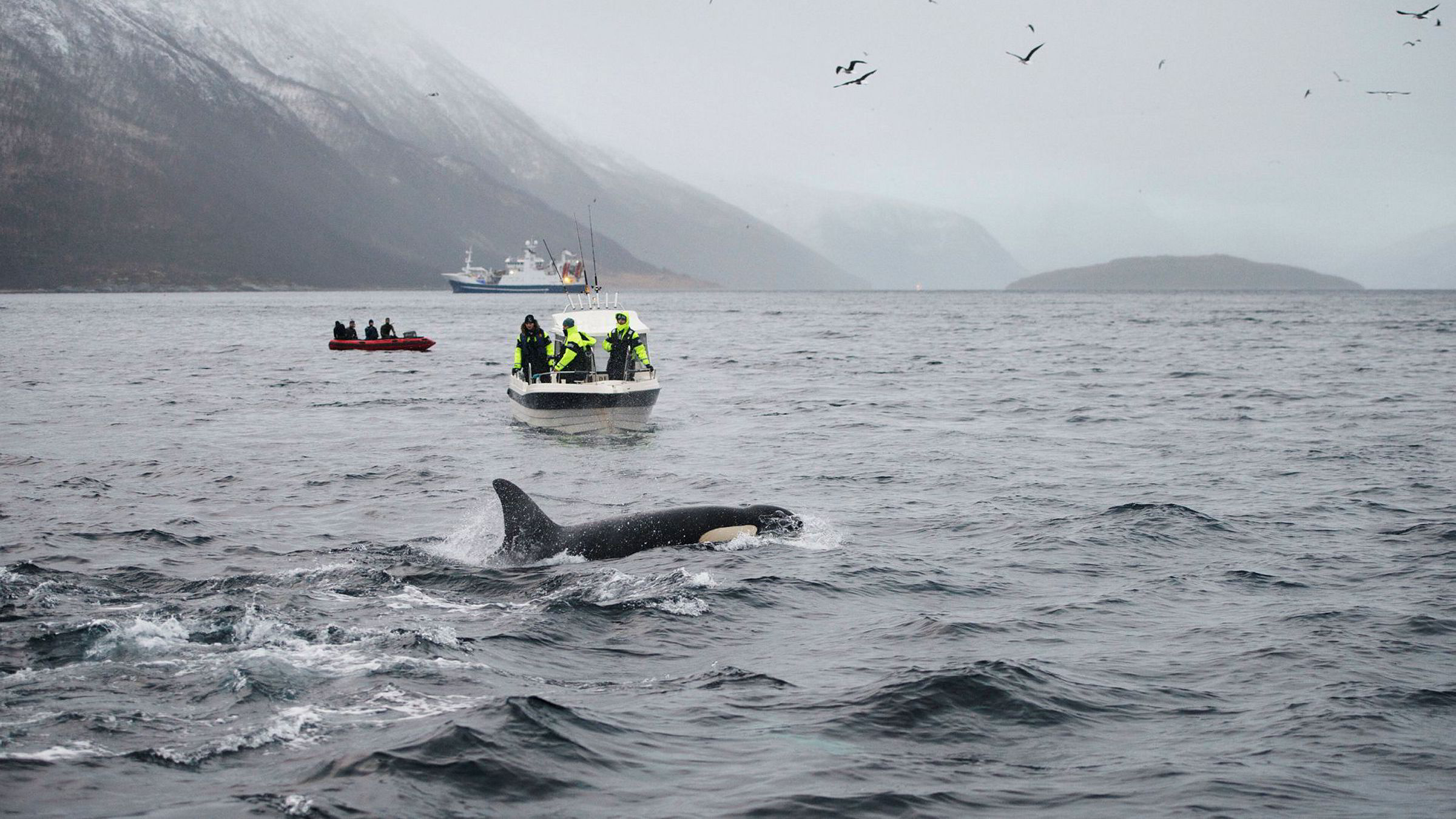 Hval, sild, turister og fiskebåter i Kaldfjorden utenfor Tromsø. Flere konsernsjefer i noen av Nord-Norges største selskaper vil heller satse på fiskeri og reiseliv enn olje.