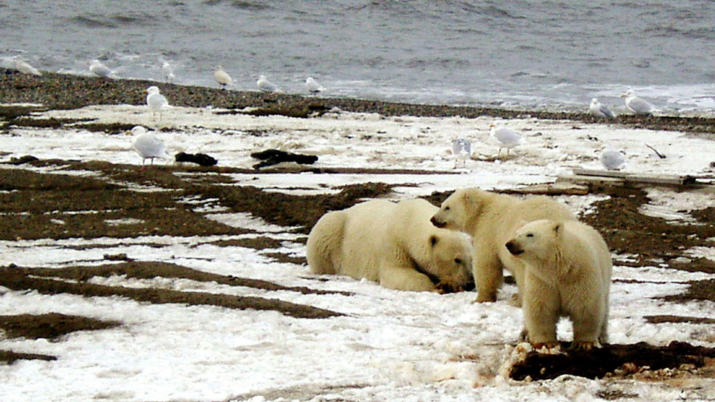 Barack Obama setter foten ned for ny oljeleting iarktiske farvann. Bildet viser en isbjørn og to unger ved kysten av Beauforthavet ved nasjonalparken Arctic National Wildlife.