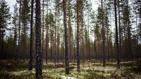 Bare 2,4 prosent av trærne i norsk skog er eldre enn 160 år, skriver artikkelforfatteren.