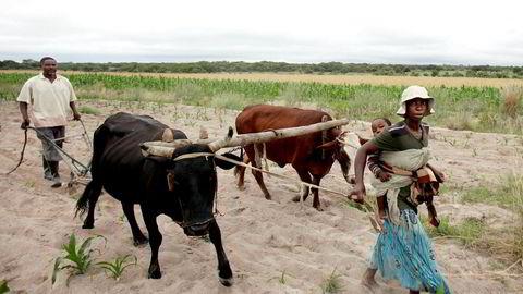 Mugabe, for eksempel, tjener på det feilslåtte jordbruket i Zimbabwe slik at regjeringen kan få dele ut mat til klientene på landsbygda. Men det er nettopp Mugabes økonomiske politikk som har ledet til det feilslåtte jordbruket. Her lokale bønder i Masvingo, Zimbabwe som dyrker mais.