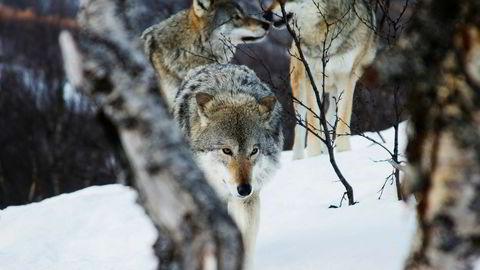 Johan C. Løken gjentar i DN 3. april sin påstand om at det er ulven som har skylden for svak næringsutvikling og tilbakegang i folketallet i ulvesonen.