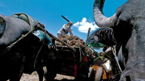 Fredsavtalen løser volden, og europeisk etterspørsel etter bærekraftig biodiesel gir infrastrukturinvesteringer i Colombia. På bildet kutter en mann i Cumaral i Colombia løs frukt fra oljepalmer. Fra frukten utvinnes palmeolje som blant annet brukes i biodiesel.