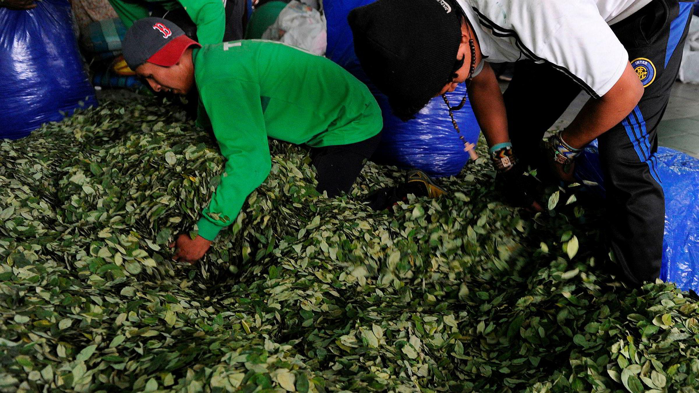 Koka-bønder pakker koka for salg på markedet i La Paz i Bolivia. Ifølge en FN-rapport er Bolivia verdens tredje største produsent av koka etter Colombia og Peru.