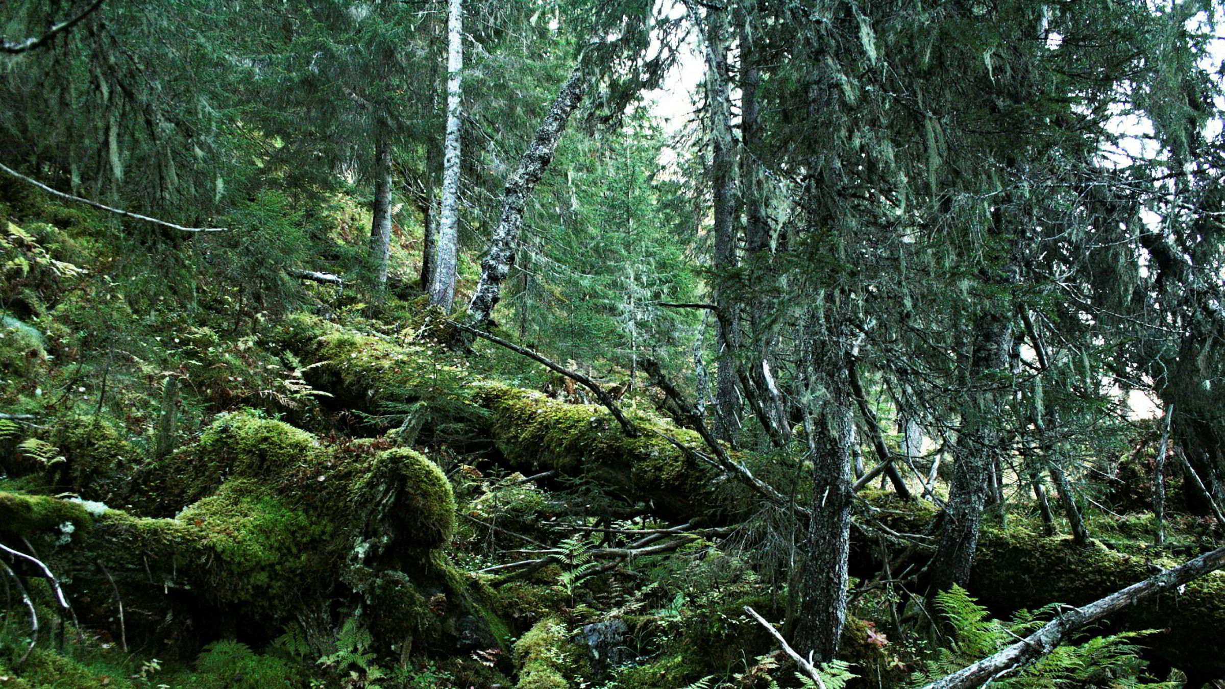 Gammel, urørt skog har uvurderlige verdier som levested for rundt halvparten av Norges 60.000 arter av dyr, planter og sopp, skriver artikkelforfatteren.