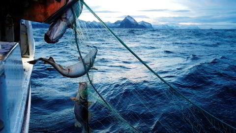 Delikatesse. Skipper Trond Dalgård (51) og Jan Gunnar Johansen på fjorårets skreifiske i Gryllefjord på utsiden av Senja. Fisken er etterspurt over hele verden, og årlig eksporteres det skrei for rundt syv milliarder kroner.