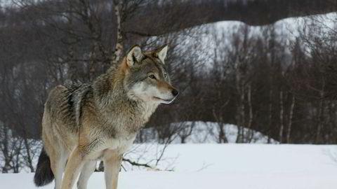 Hvis vi i Norge skal bidra til å begrense slike miljøproblemer, har det konsekvenser også for vår ulveforvaltning, sier forfatteren.