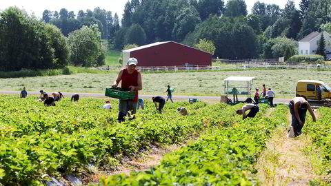 Rett tilgang til arbeidskraft gjør det norske arbeidsmarkedet mer fleksibelt. Bedrifter får lettere tak i arbeidskraft når de trenger det, enten de skal jobbe i åkeren eller i oljen. Her fra Egge Gård i Lier, der polske arbeidere plukker jordbær.