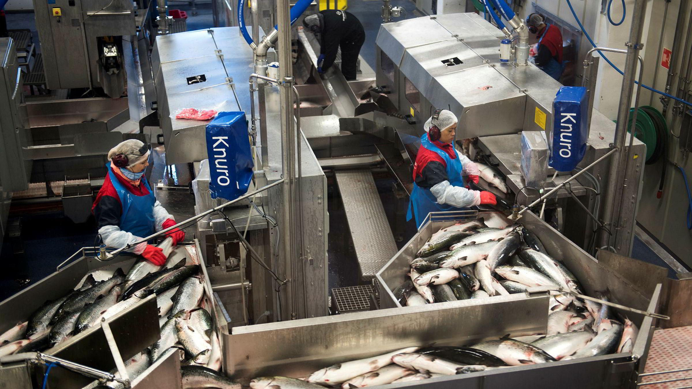 Slakting og filetering av laks ved Marine Harvest sitt anlegg på Eggesbønes.